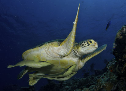 remoras-sous-tortues